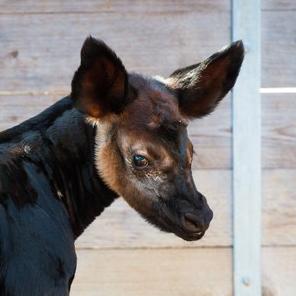 animal okapi